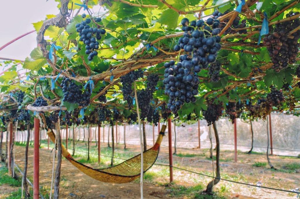 Grapes at Saithong Farm picture